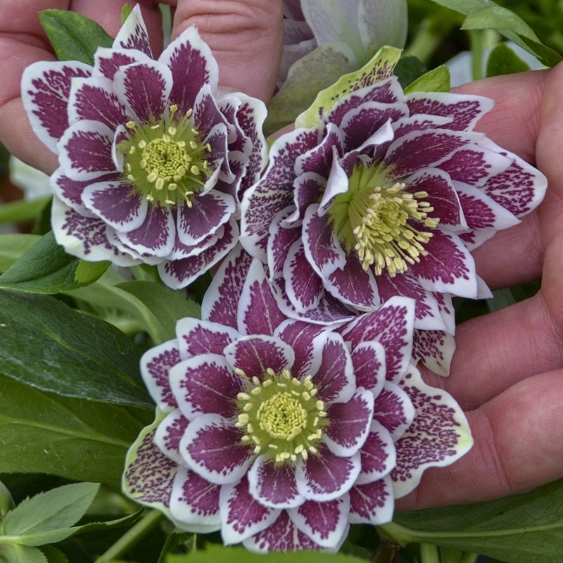 Picture of Helleborus Shotgun Wedding Flowers