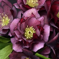 Picture of Helleborus True Love Flowers from Walters Gardens