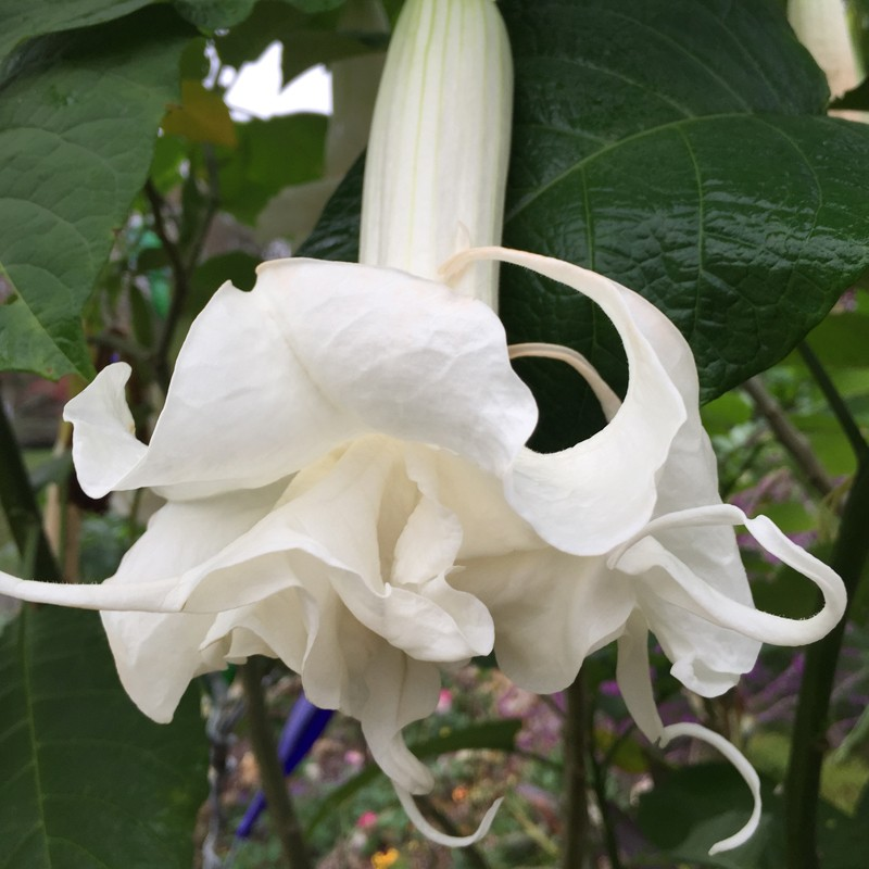 Pictures of Brugmansia Papas Girls Flowers