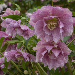 Picture of Helleborus Wedding Crasher Flowers at Walters Gardens
