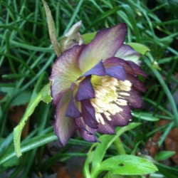 Picture of Helleborus Black Tie Affair Flowers in our garden