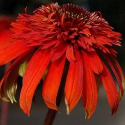 Hot Papaya Coneflower at Walters Gardens