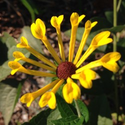 Close-up picture of Rudbeckia Little Henry flower
