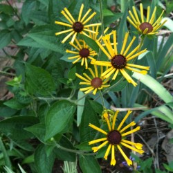 Close-up picture of Rudbeckia Little Henry plant in our garden