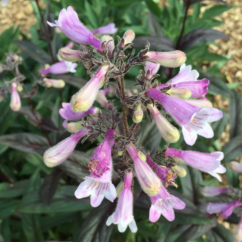Close-up picture of Penstemon flower in our garden