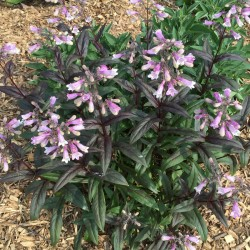 Close-up picture of Penstemon plant in our garden