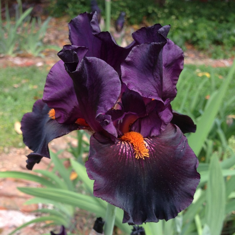 Flower picture of this Iris variety