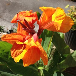 Picture of Canna Orange Beauty