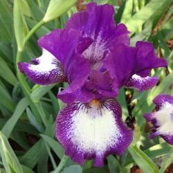 Iris Farside