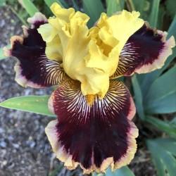 Iris Helen's Melody