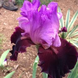 Picture of Italian Velvet Iris flower