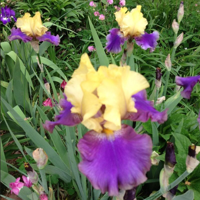 Tb Iris Jurassic Park
