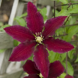 Picture of Clematis Niobe Flower