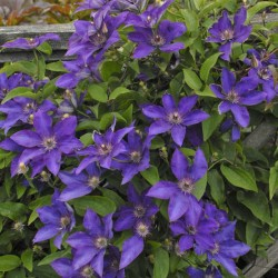 Picture of Clematis The President Flowers