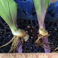 Random sample rhizomes from our iris