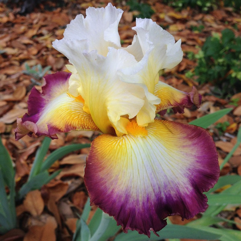 Flower picture of this iris variety.