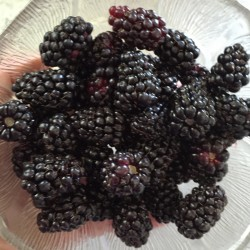 harvested marionberries