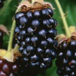 closeup of marionberry