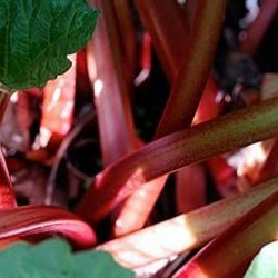 red rhubarb growing in our garden