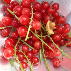 currant harvest