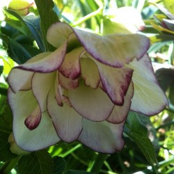 Picture of Helleborus Flower Girl Flowers in our garden