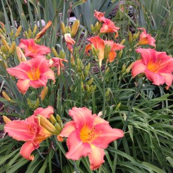 Picture of established clump this variety daylily flower