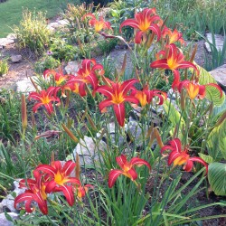 established clump picture of this daylily