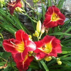 Established clump picture of this variety daylily flower