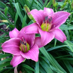 Picture of this variety daylily flower