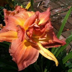 Picture of this variety daylily flowers