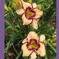 Daylily  Royal Braid