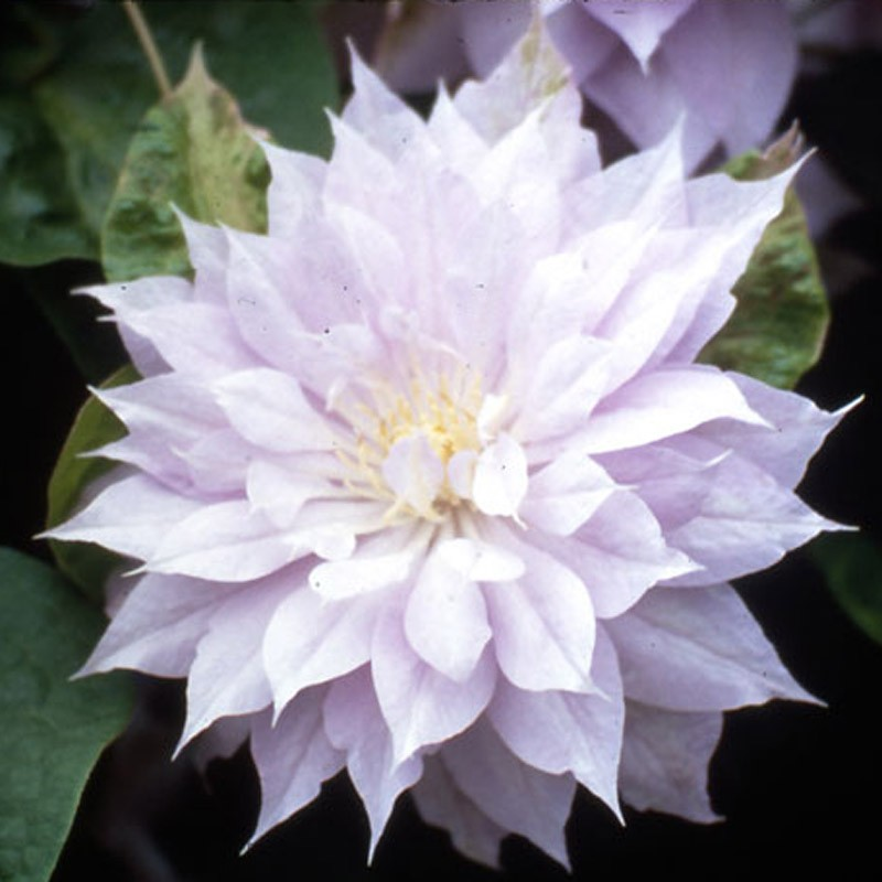 Picture of Clematis Flower