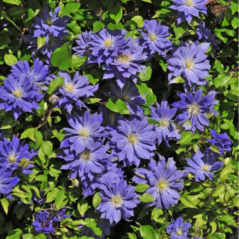 picture of this variety clematis