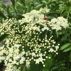 elderberry York in bloom