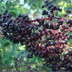 elderberries ready to harvest in our garden