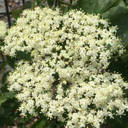 elderberry Nova in bloom