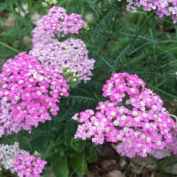flowers on this yarrow plant in our garden