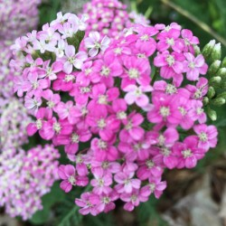 flower on this yarrow plant in our garden