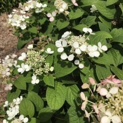 oakleaf hydrangea flowers in our garden