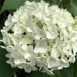 Annabelle hydrangea flower in our garden