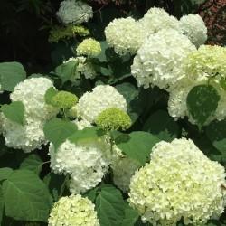 Annabelle hydrangea flowers in our garden