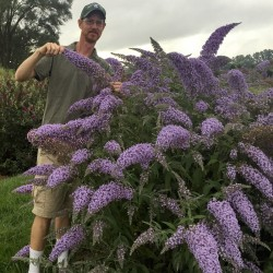 Butterfly Bush Grand Cascade