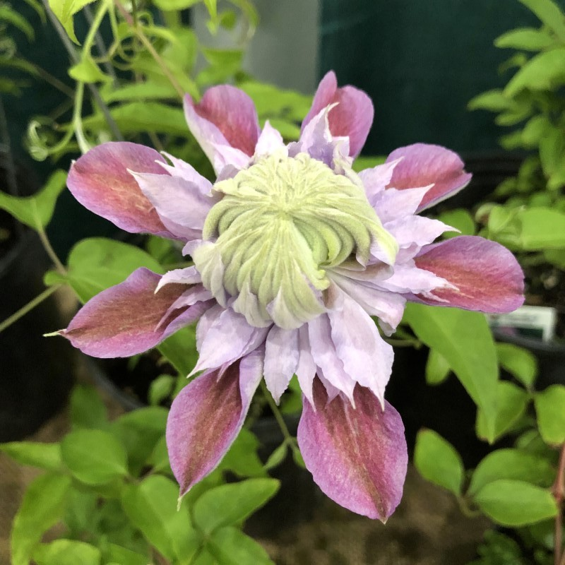 Picture of Clematis Josephine when flower first opens