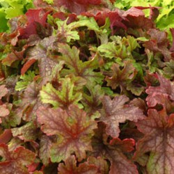Picture of mature Heucherella Alabama Sunrise Plant in the fall