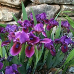 picture of established clump of dwarf iris Candy Apple