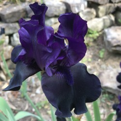 picture of this iris variety