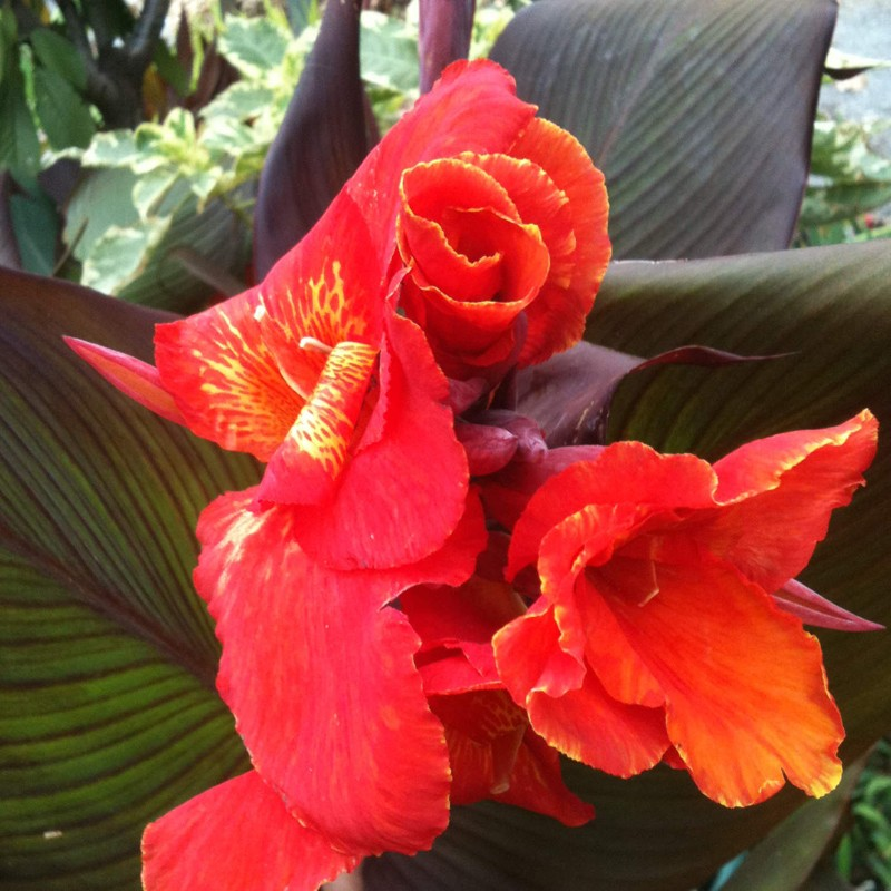 Picture of Canna Australia Flower