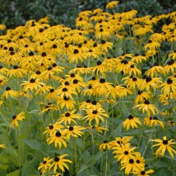 Picture of Rudbeckia in established clump in our garden.