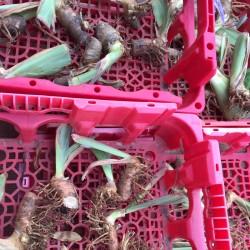 Random rhizomes from our iris
