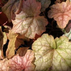 Close-up picture of Heucherella Redstone Falls foliage
